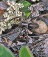 Nærbillede af en edderkop, der sidder på en plante.